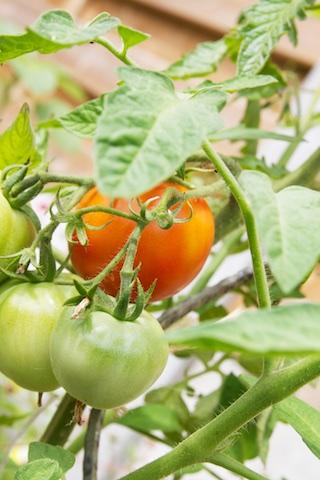 Rode en groene tomaten aan de plant buiten