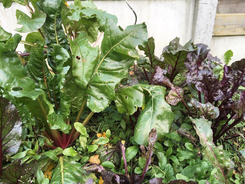 Bieten in de tuin, bladeren