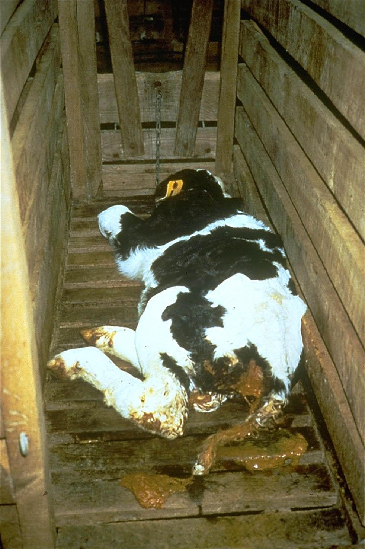 Carne de Vitela Baby Beef Veal Crueldade