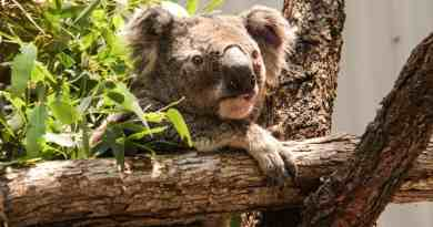 30% Of Koalas Now Gone In Australian Wildfires