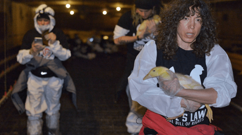 A group of ducks at a factory farm just outside Toronto was saved this week by animal activists who were protesting the conditions the creatures were living in at Stouffville's King Cole Ducks.