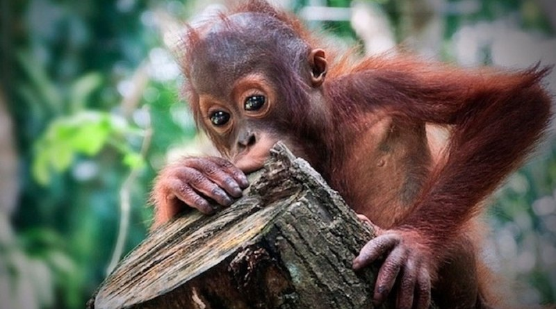 Two young sisters have persuaded cereal giant Kellogg's to change how it sources palm oil to help end farming methods threatening to wipe out endangered orangutans.