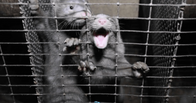 The Dutch parliament in the Netherlands has banned fur farming in the face of the COVID-19 virus sweeping through mink and transfer from animal to human.