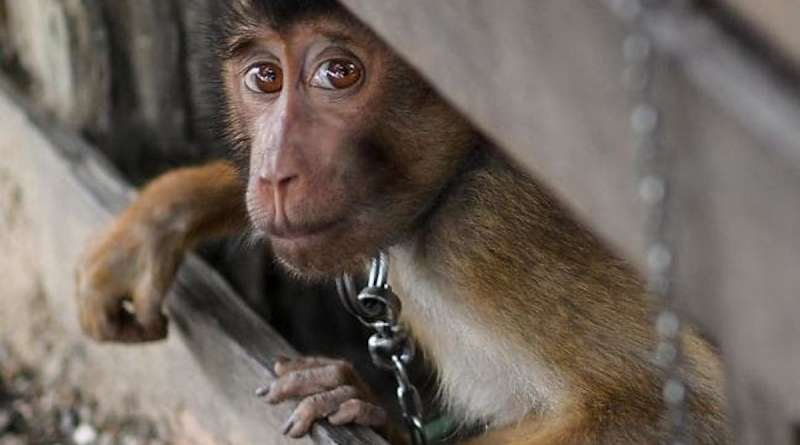 A PETA investigation has revealed that monkeys are used to pick coconuts on Thai coconut farms prompting immediate boycotts of the brands involved.