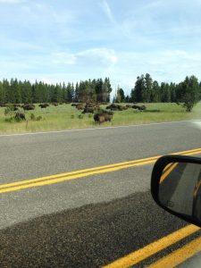 Bison in Yellowstone   Vegan Nom Noms