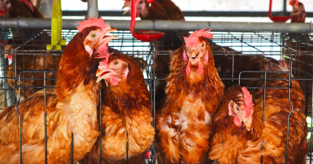 Entenda como a Mercy For Animals trabalha para acabar com o confinamento de galinhas em gaiolas na indústria de ovos