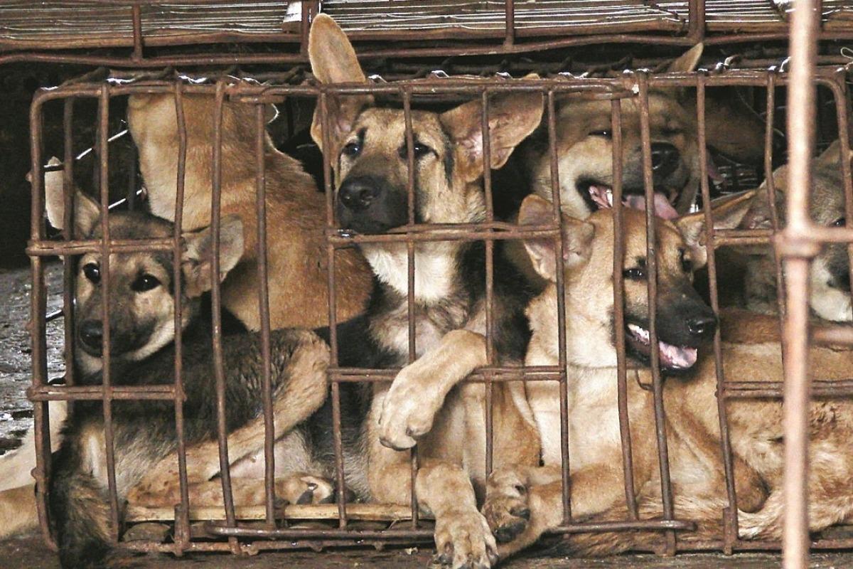 Comércio De Carne De Cachorro Chega Ao Fim Em Seul.