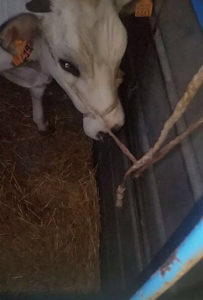 vitello-trasportato-al-mattatoio