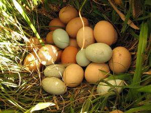Why Can't I Eat Backyard Eggs? - VeganPolice.com.au