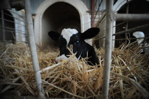 Calf at dairy farm. Jo-Anne McArthur/We animals