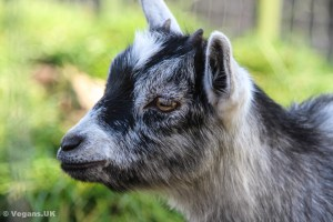 Goats go through the same trauma as cows when milked.