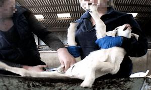 goats-kid-castration