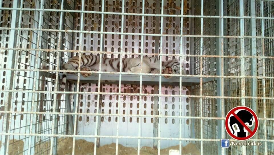 Adekvátny priestor na život pre tigra?