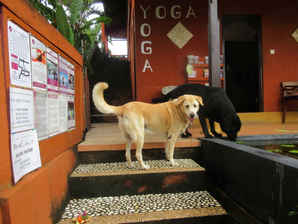 Dogs outside of Ubud yoga studio