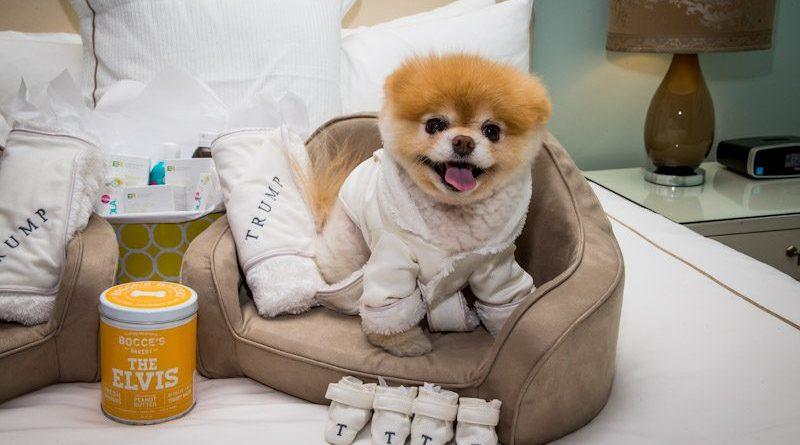 boo the world s cutest dog at trump las vegas