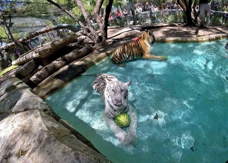 Secret Garden & Dolphin Habitat Tiger Cubs