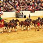 Budweiser Clydesdales at the South Point Casino, Las Vegas