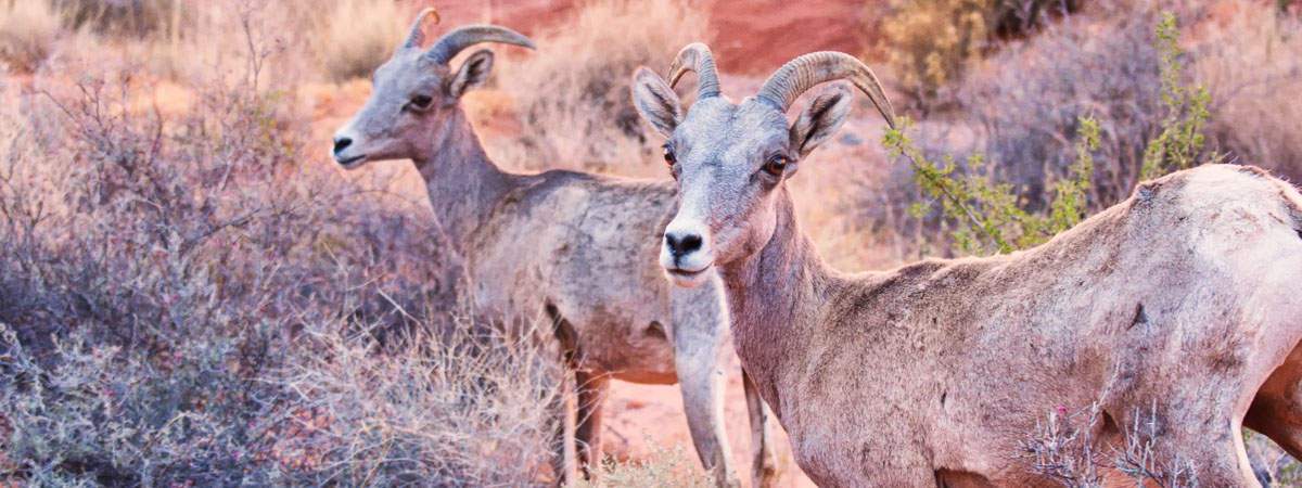 Valley of Fire Desert Bighorn Sheep - Las Vegas Tourist Attraction