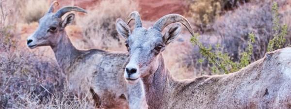 Valley of Fire Desert Bighorn Sheep