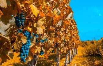 アルゼンチンの葡萄畑