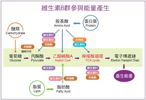 維生素B群參與能量產生