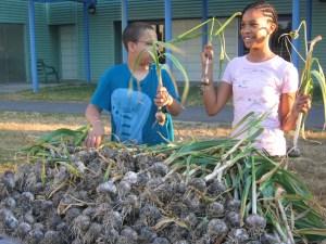 Garlic harvest copy