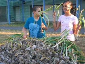 Garlic harvest copy