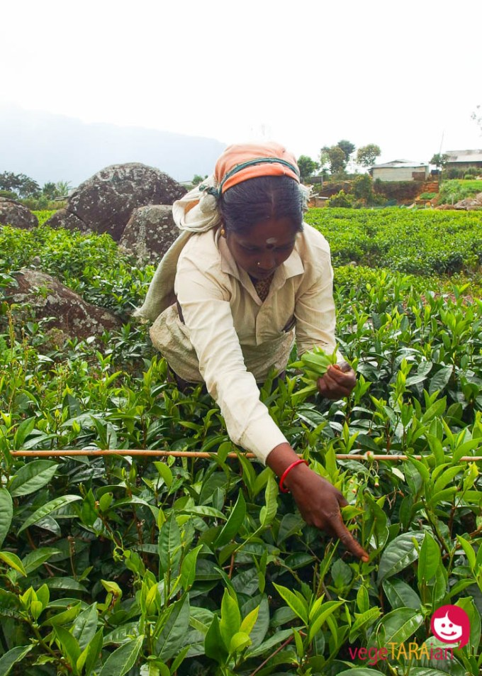 Tea pickers in Haputale