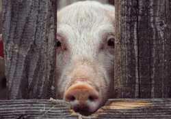 is-Pork-Healthy