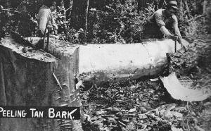 Peeling the tanoak bark