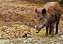 Ibama regulamenta uso de cães para a caça de javalis