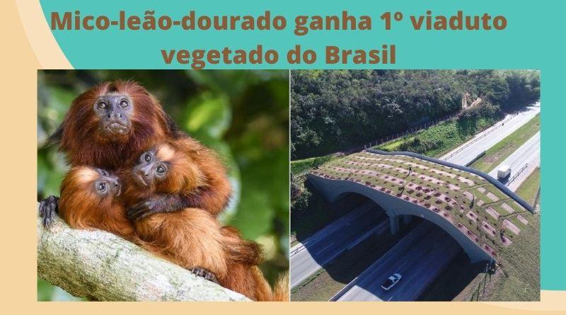 Mico-leão-dourado ganha 1º viaduto vegetado do Brasil