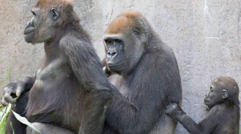 Macacos são vacinados contra a Covid-19 na Califórnia