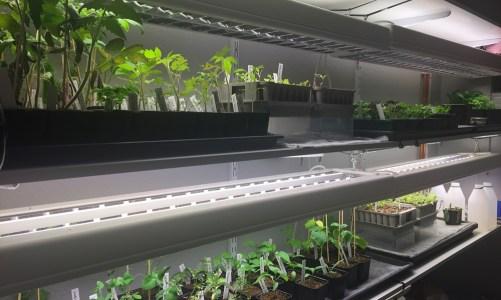 Grow Light and Temperature Experiment – Basement vs. Room Temperature