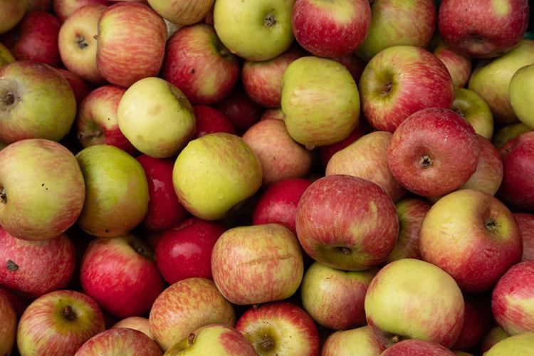 En mängd röd-gröna äpplen