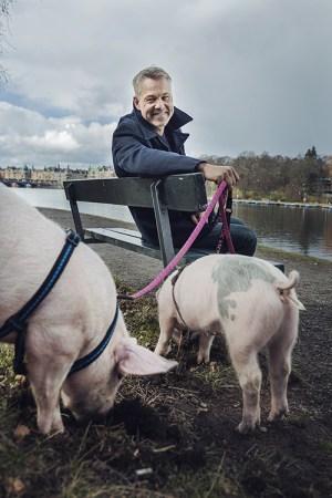 En man sitter på en parkbänk vid vattnet, bredvid står två grisar och bökar i marken