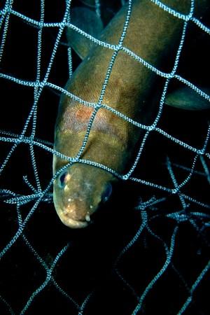 En ål fast i fiskenät