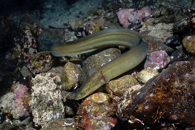 Fiskbutiker säljer hotad ål till jul