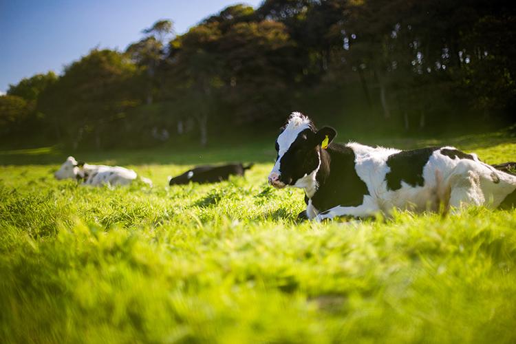 Kor ligger på en grön äng