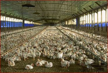 Chicken factory