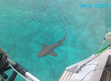 requin nourrice vu lors de notre voyage avec notre voilier vela dare aux Bahamas