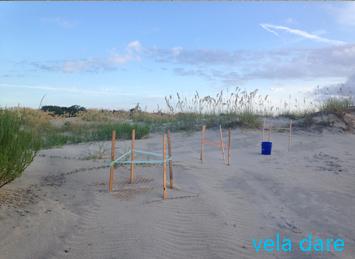 Tortue Excavation d'un nid de tortue amerique  voilier vela dare USA tortue St Simons Island plage loggerhead liveaboard charette Amérique