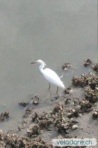 A la marée basse les hérons viennent manger les crabes et poissons
