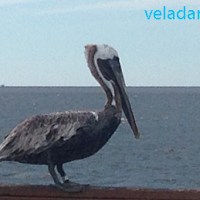 Oiseaux de St Simons Island en Géorgie (USA)