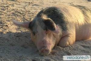 Schwein in Big Major Spot, Exuma, Bahamas