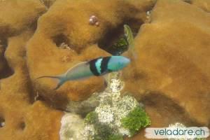 Fisch bei Dog Island, Lemmon Cays