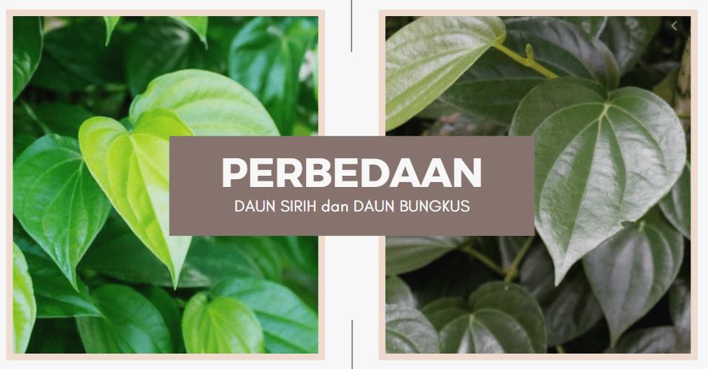Perbedaan Mencolok daun bungkun dan daun sirih
