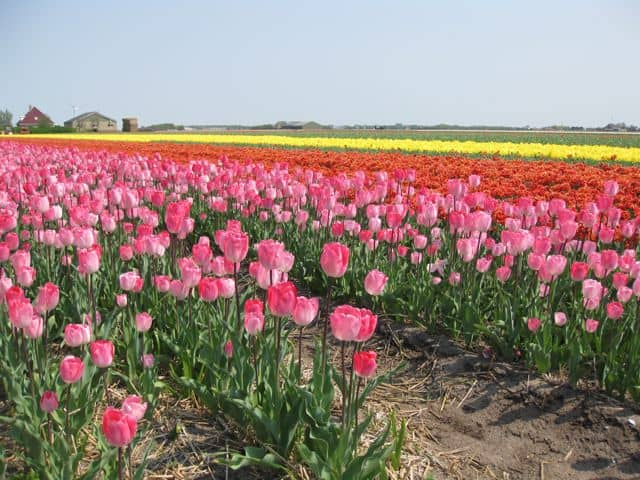 multi-colored-tulips-holland-photo