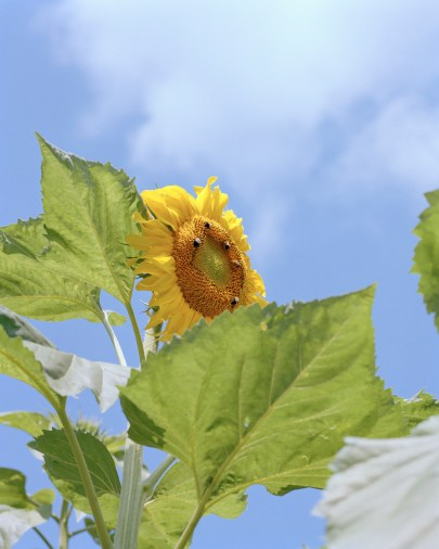 Bees on a Sunflower, North Carolina, 2017 001