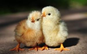 chicks5
